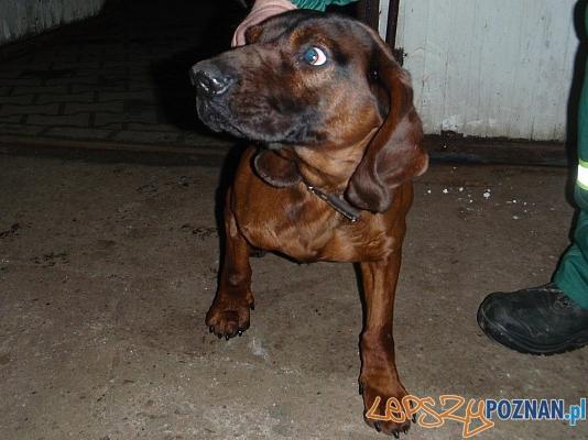 zabłąkany pies w Luboniu  Foto: UM Luboń