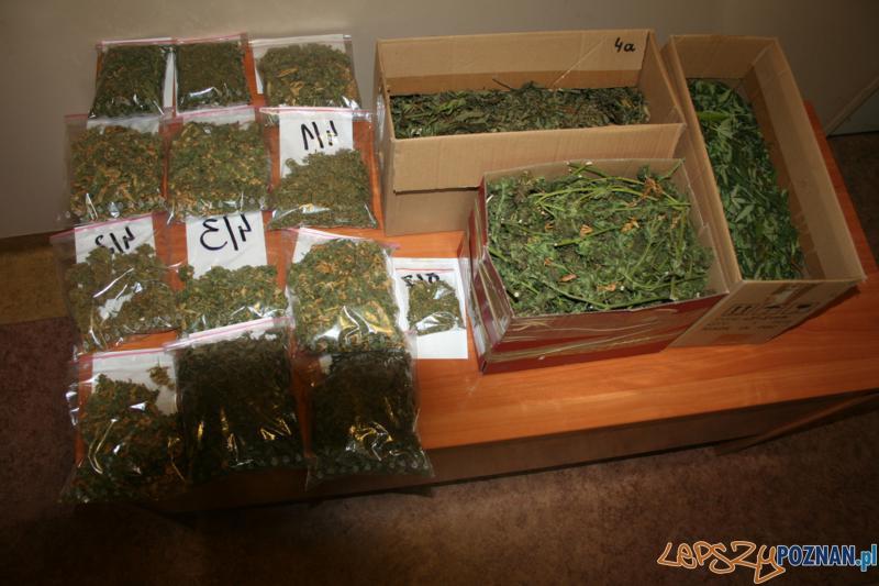 Polcja zatrzymala plantatora marihuany (3)  Foto: