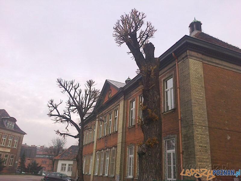 te drzewa nie ożyją na wiosnę  Foto: Janusz Ludwiczak/lazarz.pl