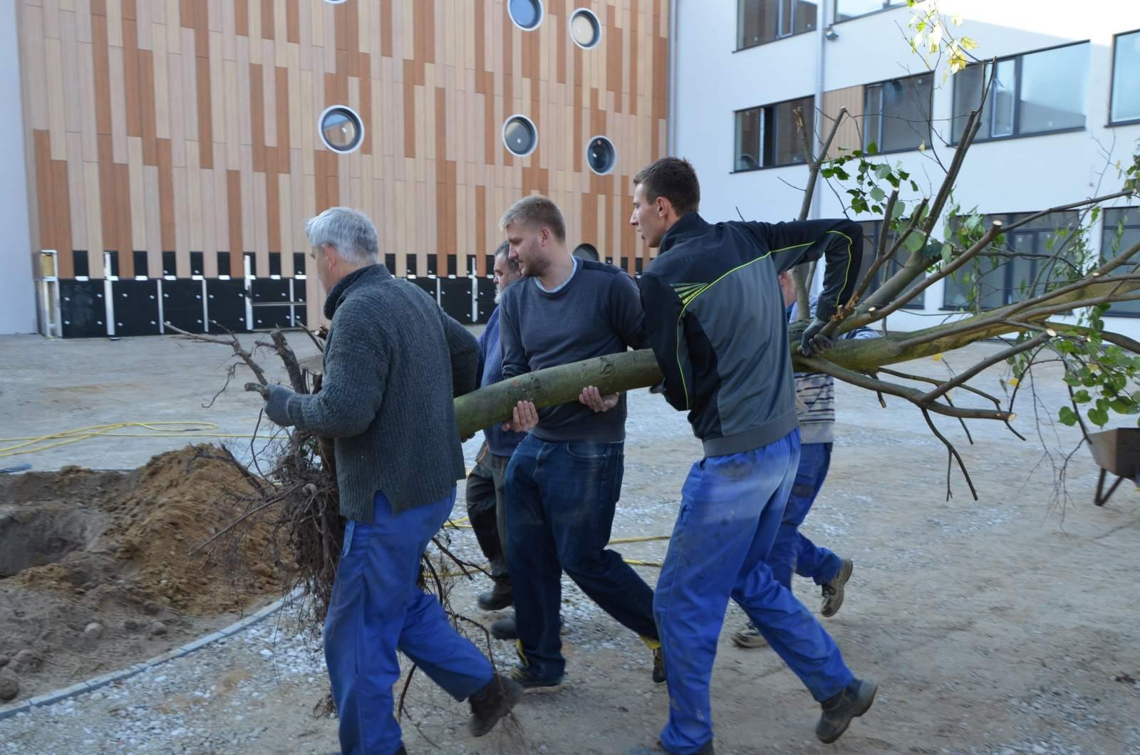 Lipa przesadzona do nowego gimnazjum  Foto: UG Dopiewo / Adam Mendrala