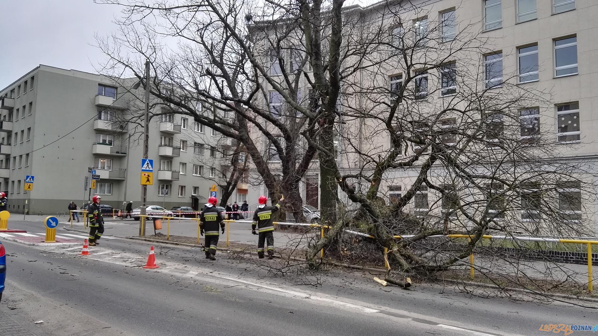 Runęło drzewo na Łukaszewicza  Foto: Tamara Tyrańska-Szczęsny