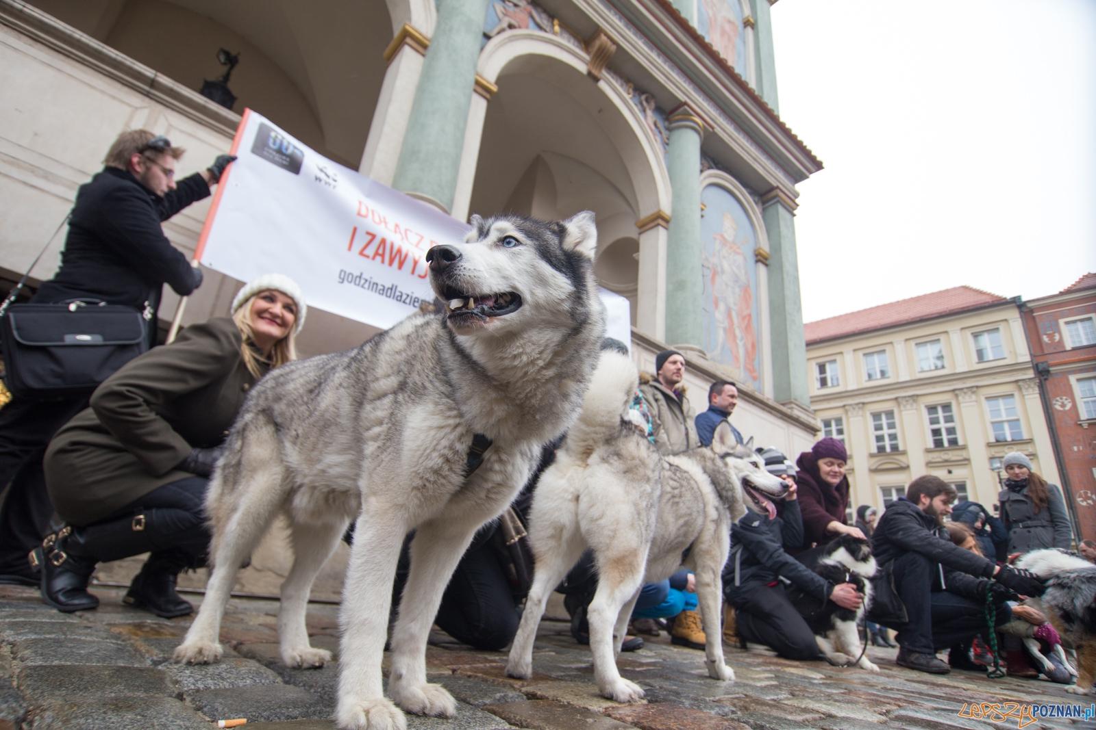 Zawyj dla wilka  Foto: lepszyPOZNAN.pl / Piotr Rychter
