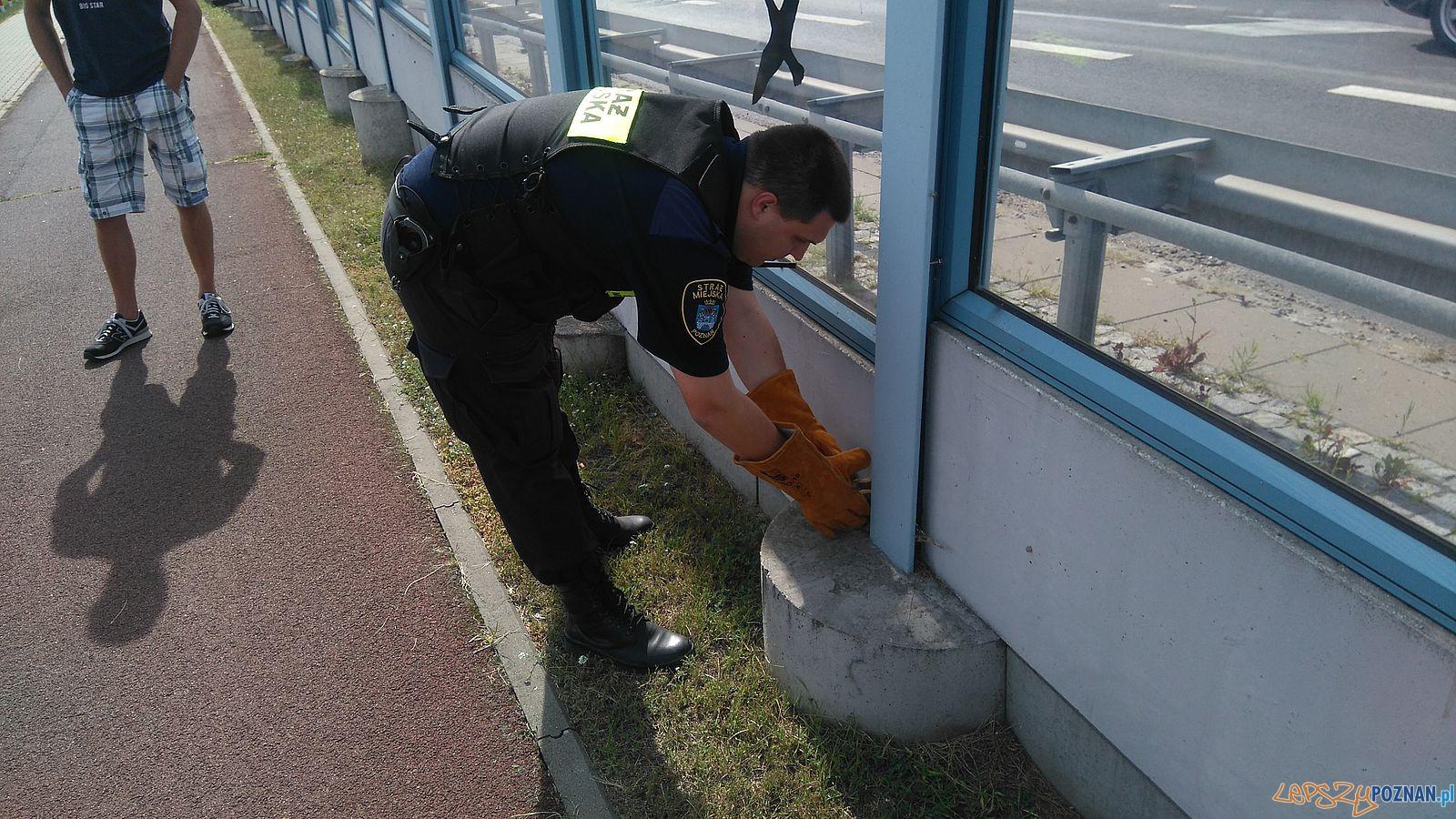 Boa dusiciel na wolności - interwencja Straży Miejskiej  Foto: Straż Miejska