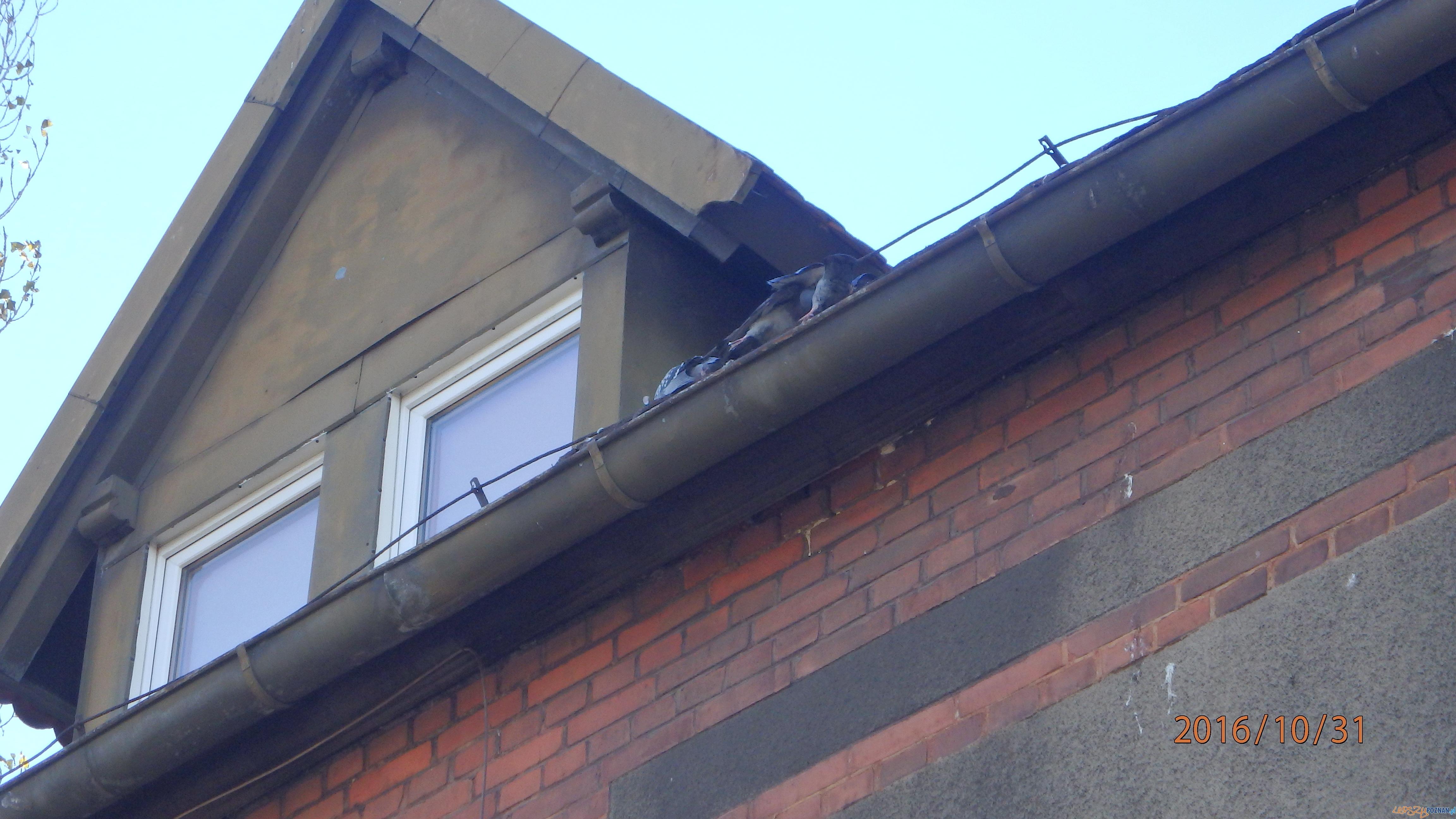 Zagadkowa śmierć gołębi  Foto: Straż Miejska