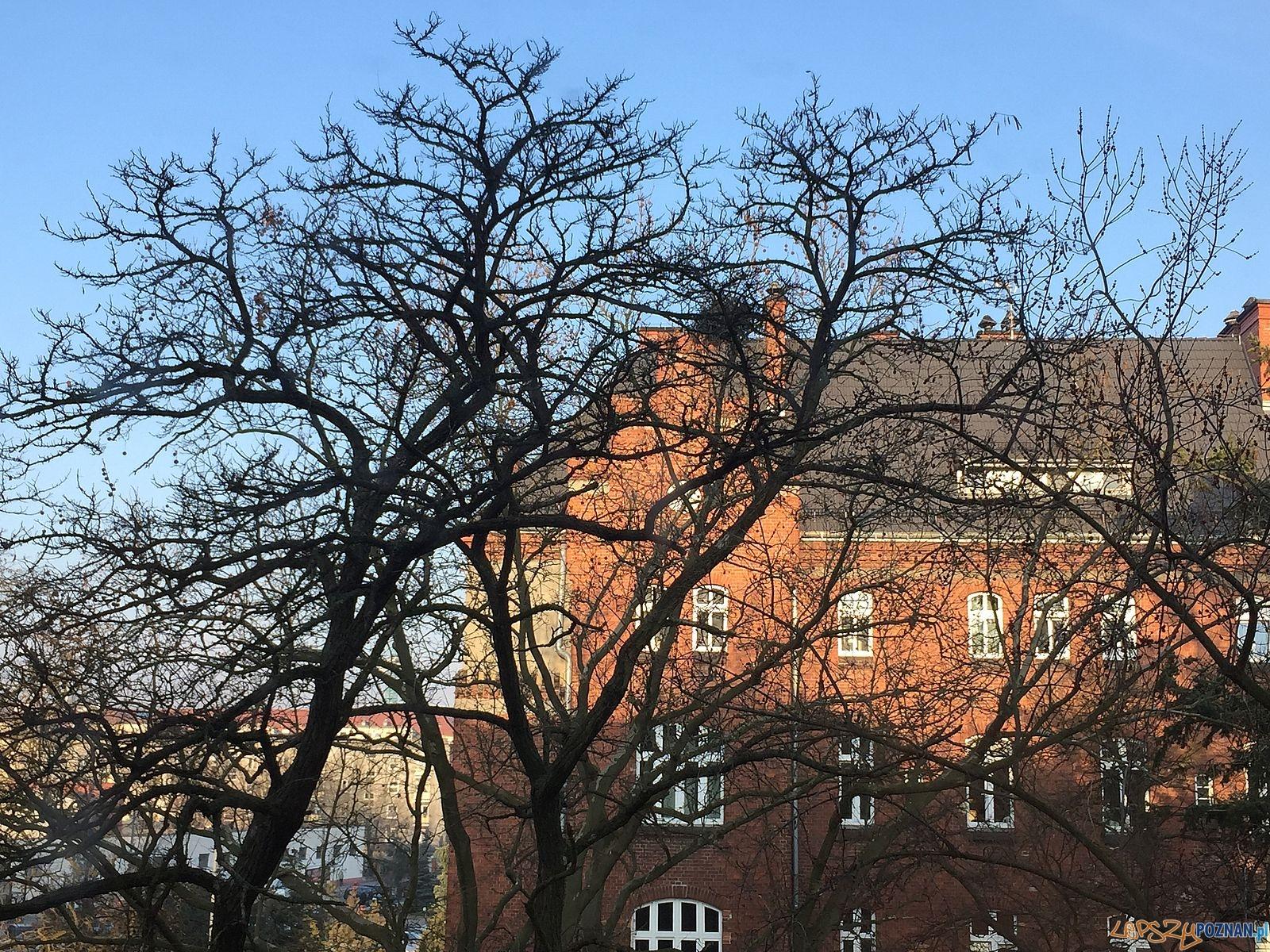 Drzewo z ptasimy gnizadami [będące pod ochroną]  Foto: Marcin Liminowicz / Rada Osiedla Stare Miasto