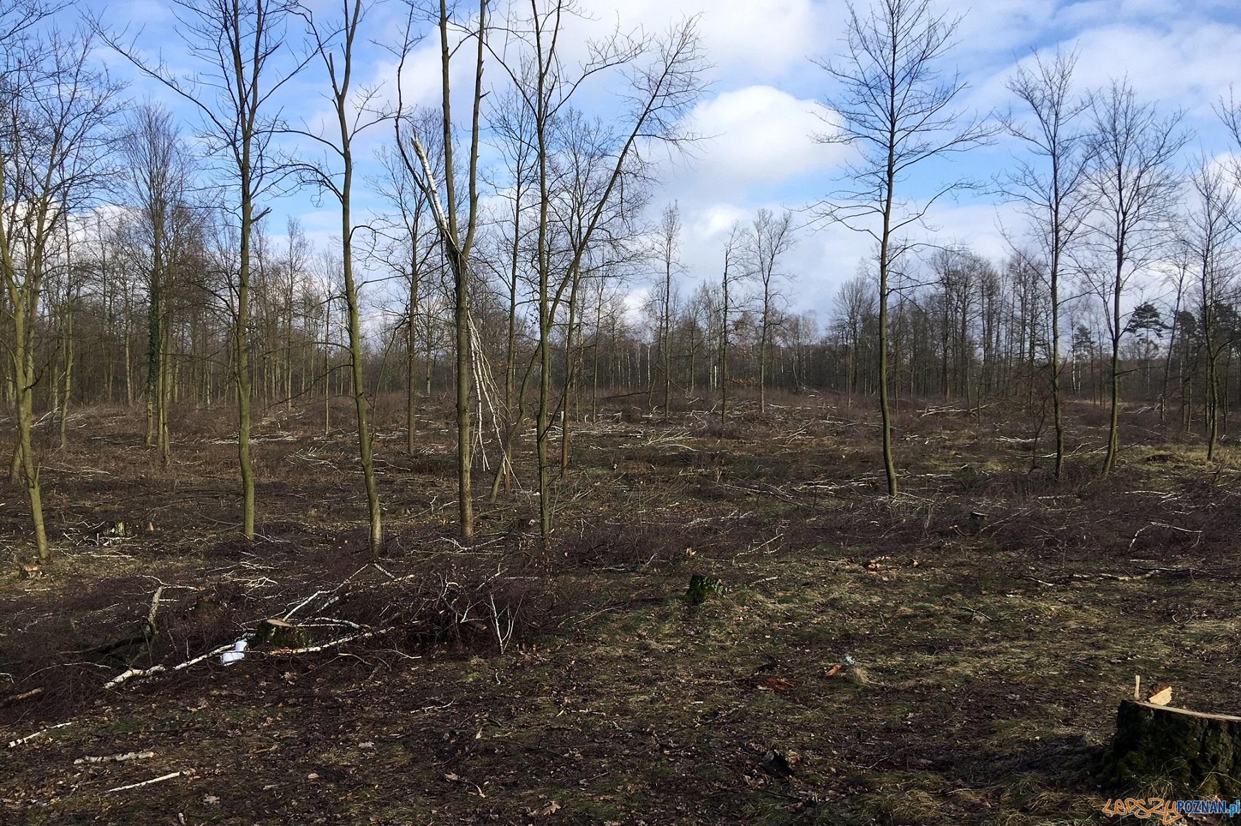 Zatrzymana wycinka drzew  Foto: UM Poznania