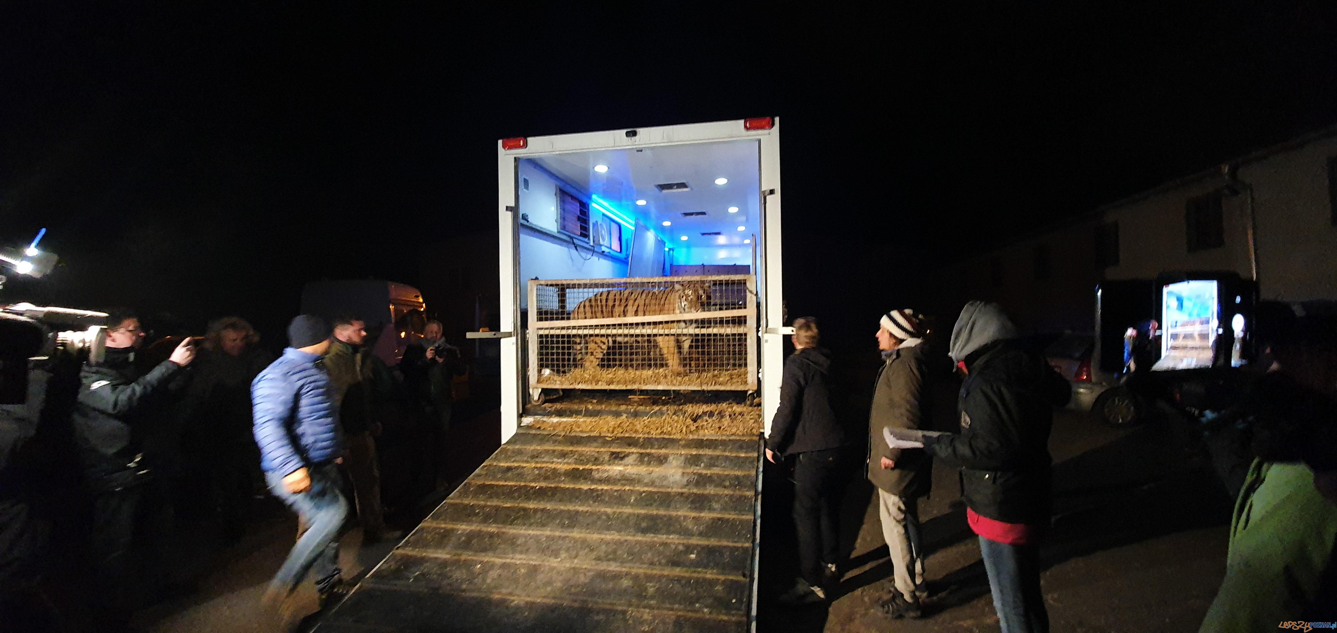 Tygrysy dotarły do poznania  Foto: materiały prasowe / UMP